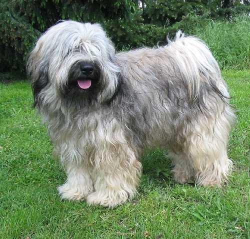 Lebensfreude Tibet Terrier Welpen D Berlin Fon 0049 30 9370384 Ellenschenk